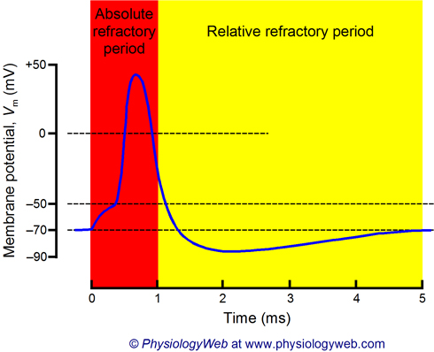 neuronal_action_potential_absolute_and_relative_refractory_periods_w